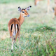 Impala on savanna in Africa - PhotoDune Item for Sale