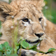 Young lion cub in the wild portrait - PhotoDune Item for Sale