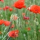 Meadow with Wild Poppies in Bloom - VideoHive Item for Sale