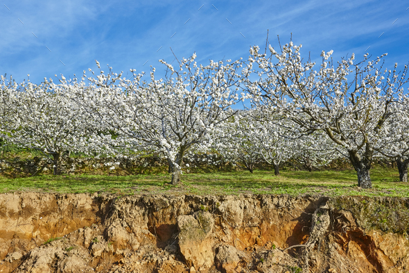 Cherry blossom in Jerte Valley hills, Caceres. Spring Spain. Seasonal - Stock Photo - Images