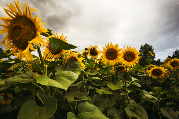 Sunflower field in the summer background blue sky - Stock Photo - Images