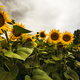 Sunflower field in the summer background blue sky - PhotoDune Item for Sale