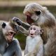 Toque macaque monkeys - PhotoDune Item for Sale