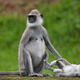 Tufted gray langur - PhotoDune Item for Sale