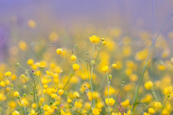 Buttercup flowers on the summer meadow - Stock Photo - Images