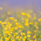 Buttercup flowers on the summer meadow - PhotoDune Item for Sale