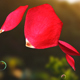 Rose & Bubbles Falling - VideoHive Item for Sale