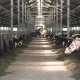 Cow Feeding on Milk Farm - VideoHive Item for Sale