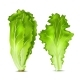 Vector Realistic Lettuce Salad Leaves - GraphicRiver Item for Sale