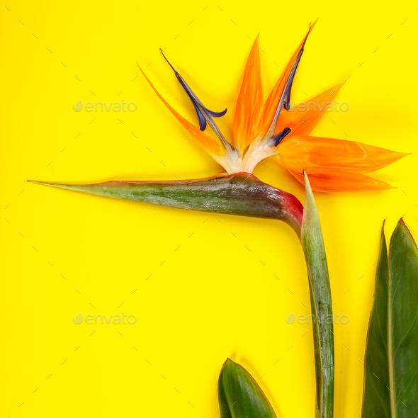 Bird of Paradise flower Strelitzia reginae - Stock Photo - Images