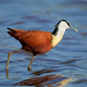 African jacana in shallow water - PhotoDune Item for Sale