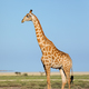 Giraffe on Etosha plains - PhotoDune Item for Sale