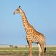 Giraffe on Etosha plains - PhotoDune Item for Sale