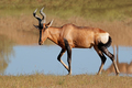 Red hartebeest antelope - PhotoDune Item for Sale
