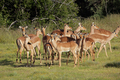 Impala antelope herd - PhotoDune Item for Sale