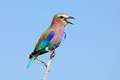 Lilac-breasted roller - South Africa - PhotoDune Item for Sale