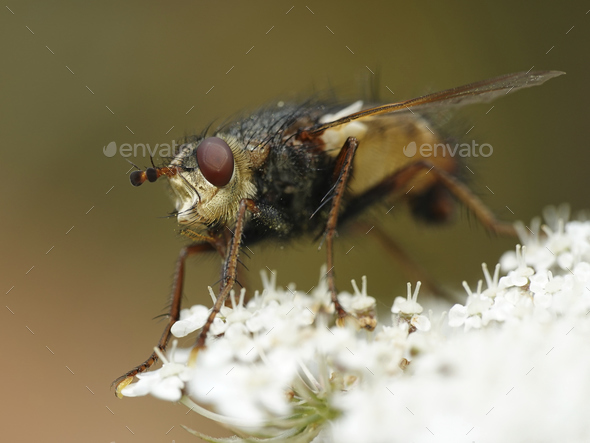 Tachina fera fly - Stock Photo - Images