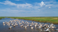 white pelicans in Danube Delta, Romania - PhotoDune Item for Sale