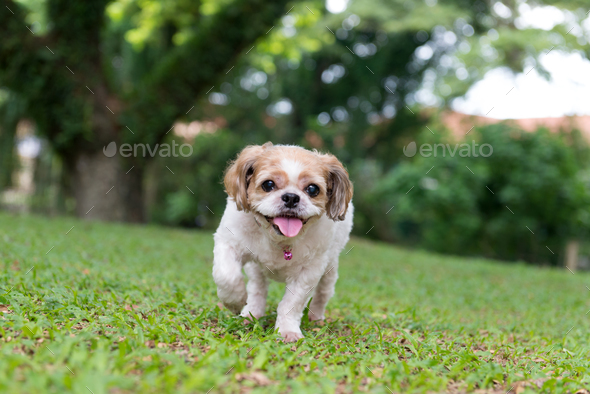 Portrait of a cute Shih Tzu dog - Stock Photo - Images
