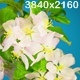 White Apple Tree Flowers - VideoHive Item for Sale