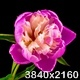 Pink Peony Flower Blooming - VideoHive Item for Sale