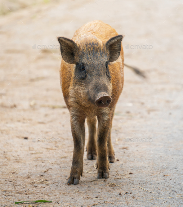 asian wild boar - Stock Photo - Images