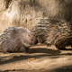 malayan porcupine, himalayan porcupine - PhotoDune Item for Sale