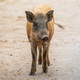 asian wild boar - PhotoDune Item for Sale