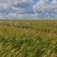 Fields of Wheat at the End of Summer Fully Ripe - VideoHive Item for Sale