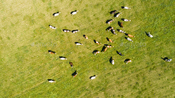 aerial view of cows in a herd on a green pasture - Stock Photo - Images