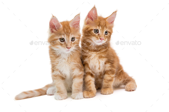 Two Maine Coon kittens - Stock Photo - Images