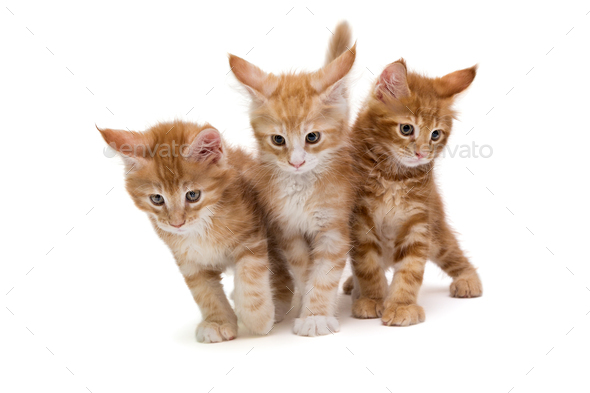 Three  Maine Coon kittens - Stock Photo - Images