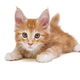 Maine Coon kitten - PhotoDune Item for Sale