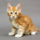Maine Coon kitten - PhotoDune Item for Sale