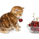British  kitten and a bowl with cherry - PhotoDune Item for Sale