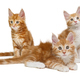 Three  Maine Coon kittens - PhotoDune Item for Sale