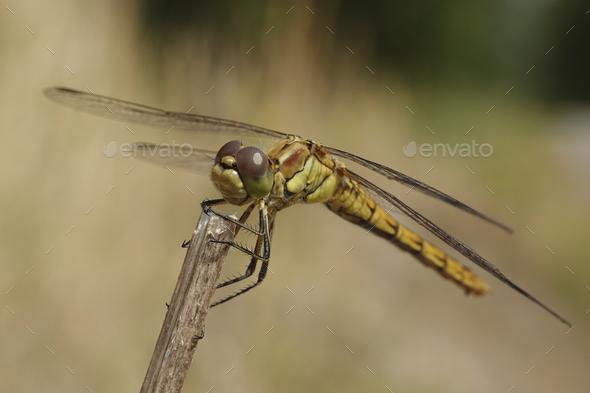Vagrant darter (Sympetrum vulgatum) - Stock Photo - Images