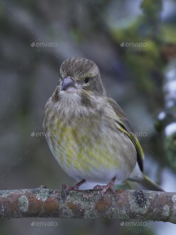 European greenfinch (Chloris chloris) - Stock Photo - Images