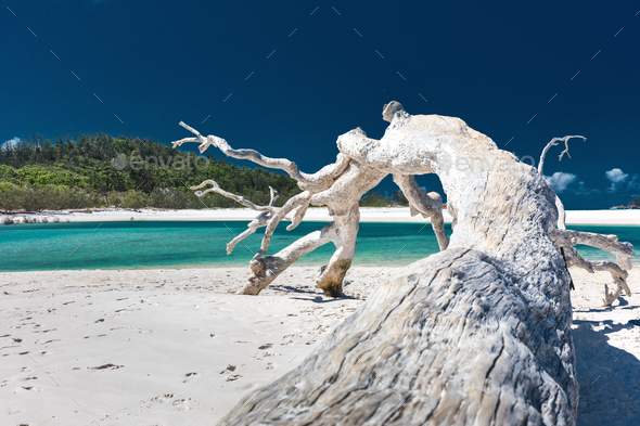 White driftwood tree on amazing Whitehaven Beach with white sand - Stock Photo - Images
