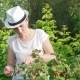 Young Woman Harvesting Fresh, Red Raspberries on the Garden. A Girl in a White Hat Gathers - VideoHive Item for Sale