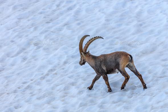 Ibex, Range of Mont Blanc, France - Stock Photo - Images
