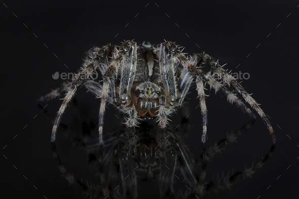 Cross spider (Araneus diadematus)  - Stock Photo - Images