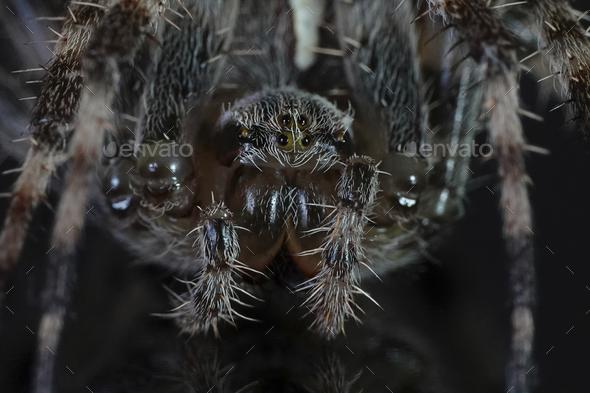 Cross spider (Araneus diadematus)  - Stock Photo - Images