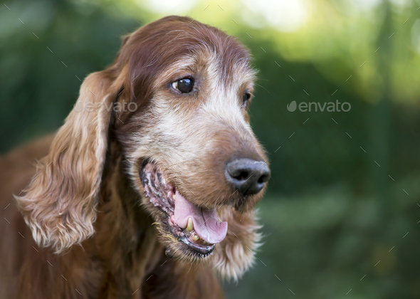 Beautiful cute old dog smiling - Stock Photo - Images