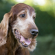Beautiful cute old dog smiling - PhotoDune Item for Sale