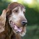 Beautiful cute old dog smiling - PhotoDune Item for Sale