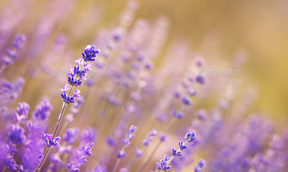 Lavender flower field close-up background - Stock Photo - Images