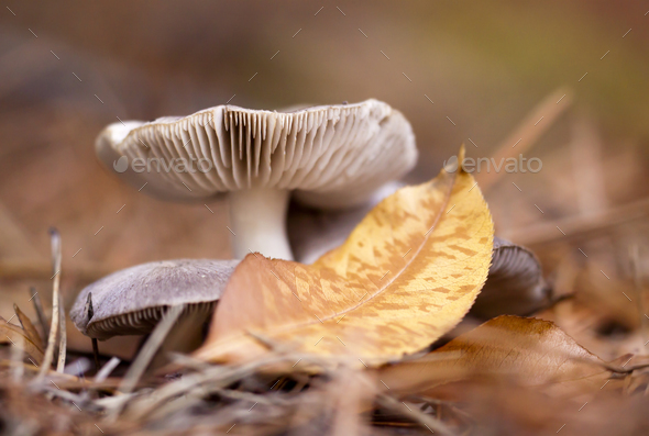 Autumn mushroom and a yellow gold leaf - Stock Photo - Images
