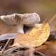 Autumn mushroom and a yellow gold leaf - PhotoDune Item for Sale