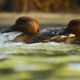 Small Ducks Swimming in the River - VideoHive Item for Sale
